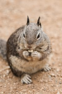 close-up-photography-of-a-gray-squirrel-4618545
